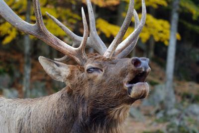 Bull Elk Bugiling