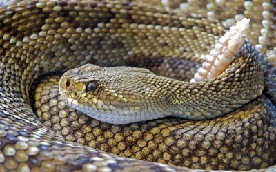 Rattlesnakes and Hunting